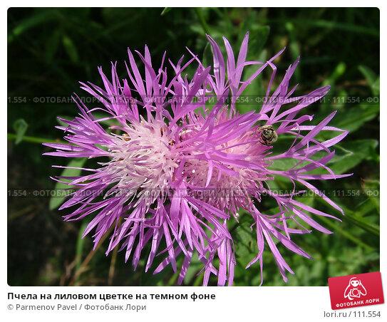 Купить «Пчела на лиловом цветке на темном фоне», фото № 111554, снято 16 июля 2006 г. (c) Parmenov Pavel / Фотобанк Лори