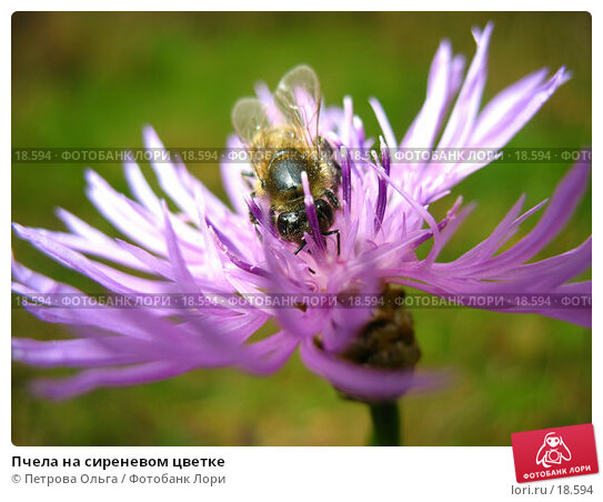 Пчела на сиреневом цветке, фото № 18594, снято 5 октября 2006 г. (c) Петрова Ольга / Фотобанк Лори