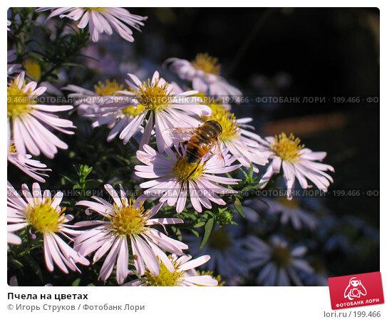 Пчела на цветах, фото № 199466, снято 14 октября 2006 г. (c) Игорь Струков / Фотобанк Лори