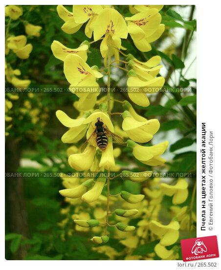 Пчела на цветах желтой акации, фото № 265502, снято 27 апреля 2008 г. (c) Евгений Головко / Фотобанк Лори