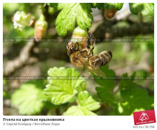 Пчела на цветках крыжовника, фото № 30158, снято 14 мая 2006 г. (c) Сергей Ксейдор / Фотобанк Лори