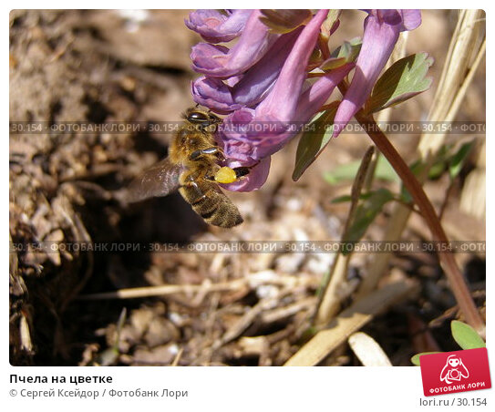 Пчела на цветке, фото № 30154, снято 24 апреля 2006 г. (c) Сергей Ксейдор / Фотобанк Лори