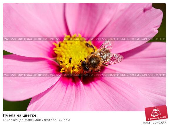 Пчела на цветке, фото № 249558, снято 23 сентября 2006 г. (c) Александр Максимов / Фотобанк Лори
