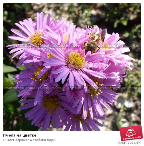 Пчела на цветке, фото № 274490, снято 10 октября 2007 г. (c) Олег Хархан / Фотобанк Лори