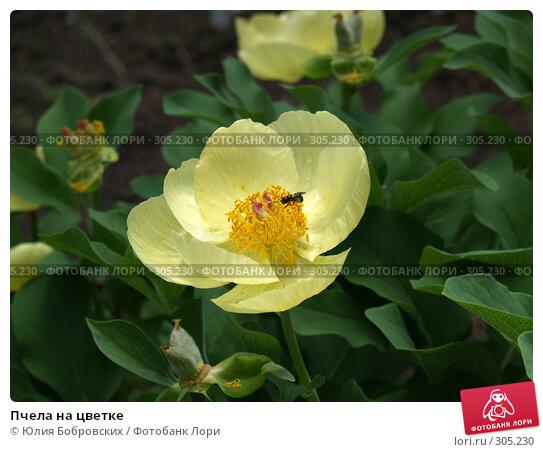 Купить «Пчела на цветке», фото № 305230, снято 1 июня 2008 г. (c) Юлия Бобровских / Фотобанк Лори