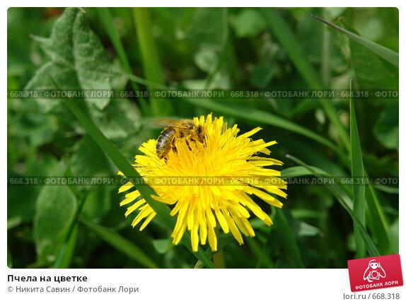Купить «Пчела на цветке», фото № 668318, снято 19 марта 2007 г. (c) Никита Савин / Фотобанк Лори
