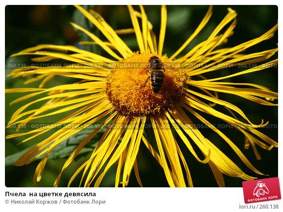 Пчела  на цветке девясила, фото № 260138, снято 14 июня 2007 г. (c) Николай Коржов / Фотобанк Лори