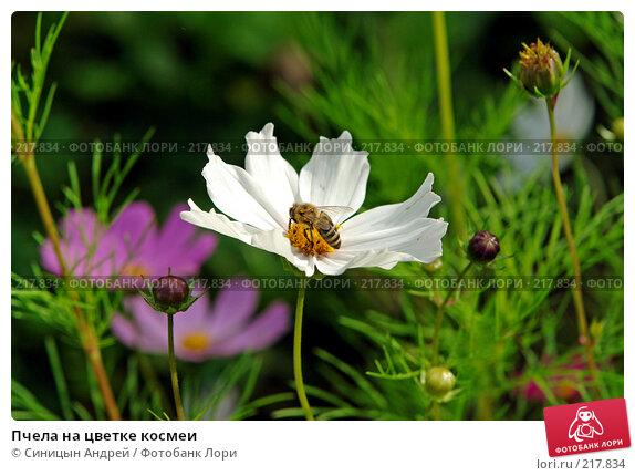 Пчела на цветке космеи, фото № 217834, снято 5 августа 2007 г. (c) Синицын Андрей / Фотобанк Лори