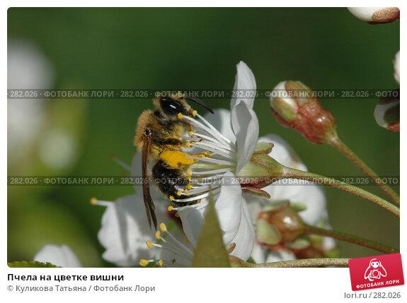 Купить «Пчела на цветке вишни», фото № 282026, снято 17 марта 2006 г. (c) Куликова Татьяна / Фотобанк Лори