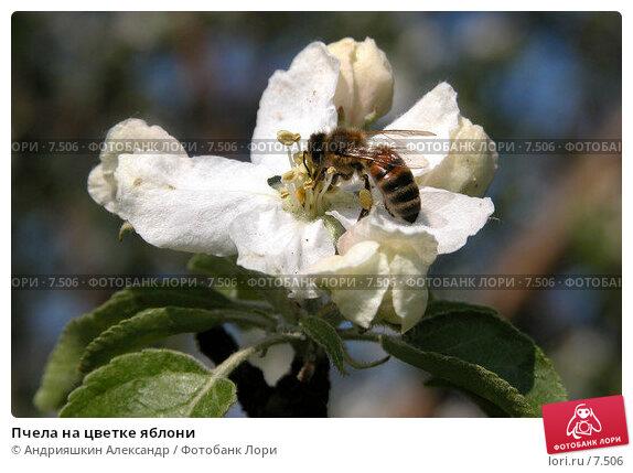 Пчела на цветке яблони, фото № 7506, снято 19 мая 2004 г. (c) Андрияшкин Александр / Фотобанк Лори