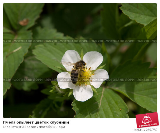 Пчела опыляет цветок клубники, фото № 269730, снято 23 июля 2017 г. (c) Константин Босов / Фотобанк Лори