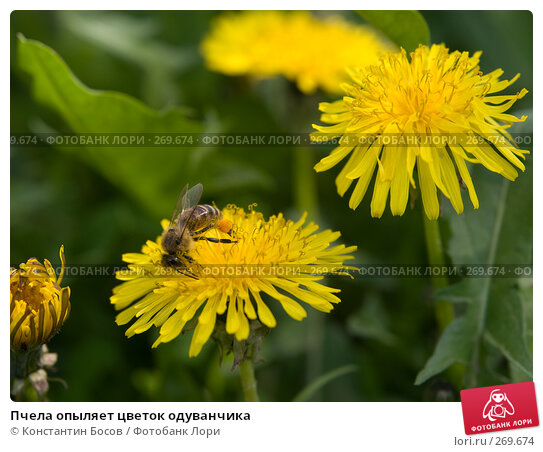Пчела опыляет цветок одуванчика, фото № 269674, снято 21 октября 2016 г. (c) Константин Босов / Фотобанк Лори