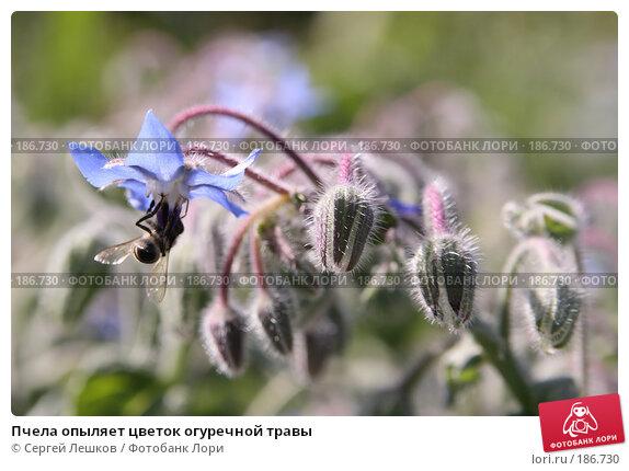 Пчела опыляет цветок огуречной травы, фото № 186730, снято 28 июля 2007 г. (c) Сергей Лешков / Фотобанк Лори