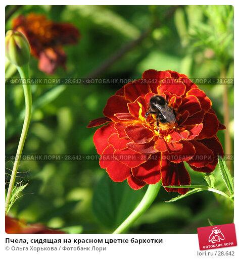 Пчела, сидящая на красном цветке бархотки, фото № 28642, снято 17 августа 2006 г. (c) Ольга Хорькова / Фотобанк Лори