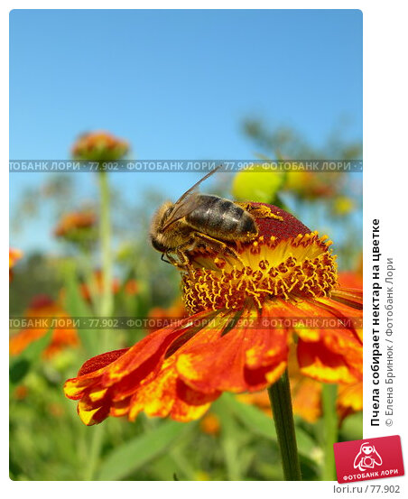 Пчела собирает нектар на цветке, фото № 77902, снято 11 августа 2007 г. (c) Елена Бринюк / Фотобанк Лори