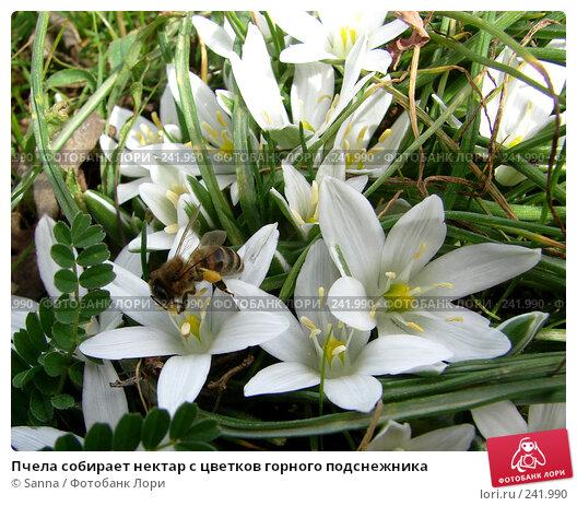 Купить «Пчела собирает нектар с цветков горного подснежника», фото № 241990, снято 24 марта 2008 г. (c) Sanna / Фотобанк Лори
