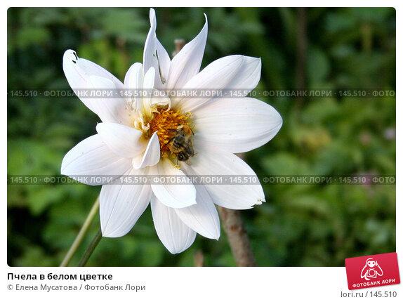 Пчела в белом цветке, фото № 145510, снято 6 августа 2005 г. (c) Елена Мусатова / Фотобанк Лори