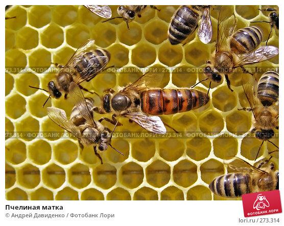 Пчелиная матка, фото № 273314, снято 23 мая 2017 г. (c) Андрей Давиденко / Фотобанк Лори