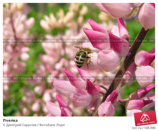 Пчелка, фото № 108946, снято 11 июня 2006 г. (c) Дмитрий Сарычев / Фотобанк Лори