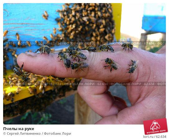 Купить «Пчелы на руке», фото № 62634, снято 15 июля 2007 г. (c) Сергей Литвиненко / Фотобанк Лори