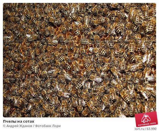 Пчелы на сотах, фото № 63990, снято 21 июля 2007 г. (c) Андрей Жданов / Фотобанк Лори