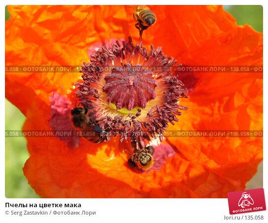 Пчелы на цветке мака, фото № 135058, снято 11 июня 2004 г. (c) Serg Zastavkin / Фотобанк Лори