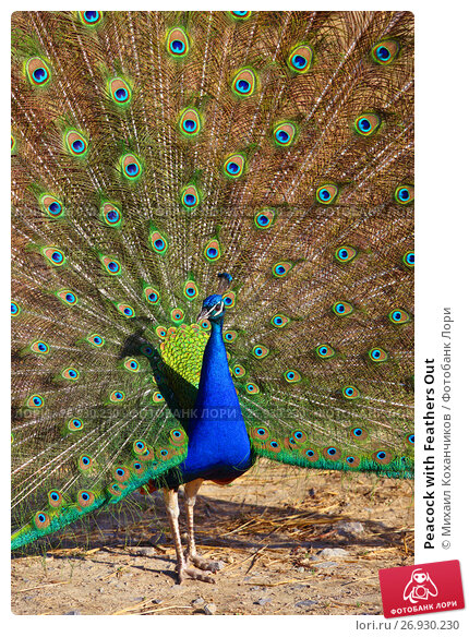 Купить «Peacock with Feathers Out», фото № 26930230, снято 5 мая 2017 г. (c) Михаил Коханчиков / Фотобанк Лори
