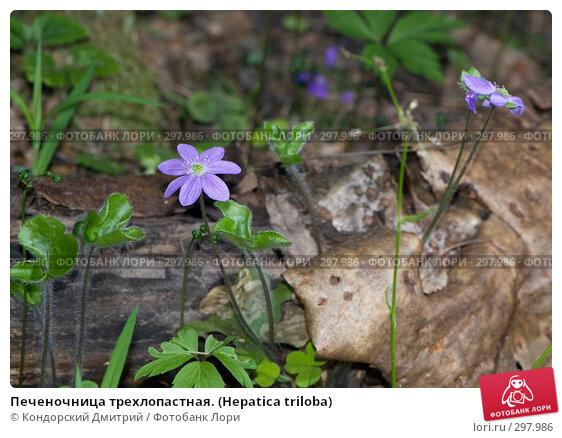 Печеночница трехлопастная. (Hepatica triloba), фото № 297986, снято 3 мая 2008 г. (c) Кондорский Дмитрий / Фотобанк Лори