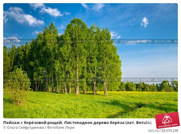 Купить «Пейзаж с берёзовой рощей. Листопадное дерево берёза (лат. Betula).», фото № 28674238, снято 13 мая 2018 г. (c) Ольга Сейфутдинова / Фотобанк Лори