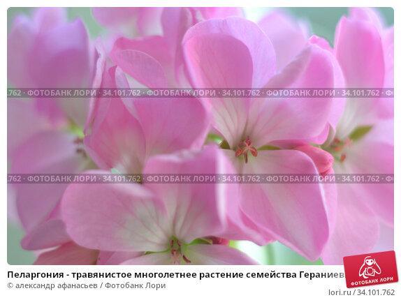 Купить «Пеларгония - травянистое многолетнее растение семейства Гераниевые. Натуральный фон из лепестков цветов», фото № 34101762, снято 9 июня 2020 г. (c) александр афанасьев / Фотобанк Лори