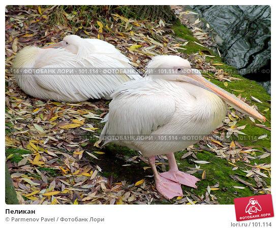 Купить «Пеликан», фото № 101114, снято 8 ноября 2004 г. (c) Parmenov Pavel / Фотобанк Лори