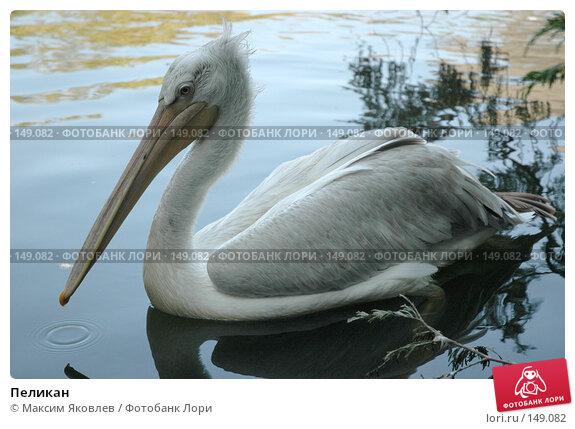 Купить «Пеликан», фото № 149082, снято 6 сентября 2007 г. (c) Максим Яковлев / Фотобанк Лори