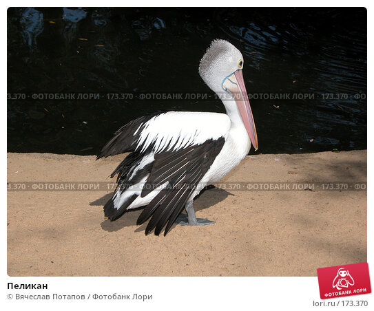 Пеликан, фото № 173370, снято 11 октября 2006 г. (c) Вячеслав Потапов / Фотобанк Лори
