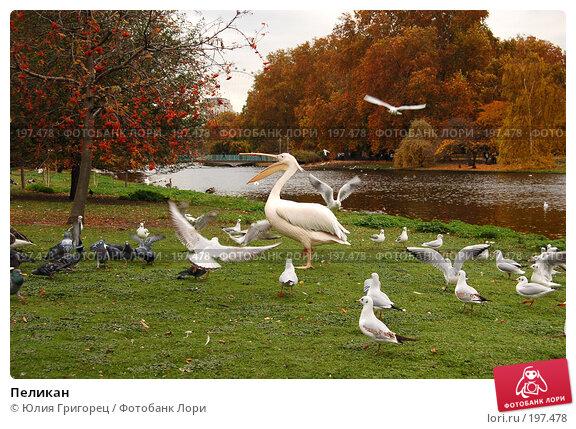 Пеликан, фото № 197478, снято 6 ноября 2007 г. (c) Юлия Севастьянова / Фотобанк Лори