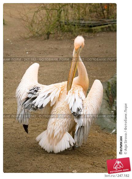 Купить «Пеликан», фото № 247182, снято 6 апреля 2008 г. (c) Asja Sirova / Фотобанк Лори