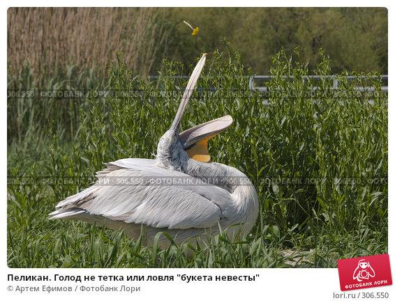 """Пеликан. Голод не тетка или ловля """"букета невесты"""", фото № 306550, снято 4 мая 2008 г. (c) Артем Ефимов / Фотобанк Лори"""