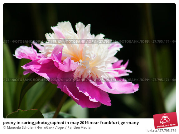 Купить «peony in spring,photographed in may 2016 near frankfurt,germany», фото № 27795174, снято 22 февраля 2018 г. (c) PantherMedia / Фотобанк Лори