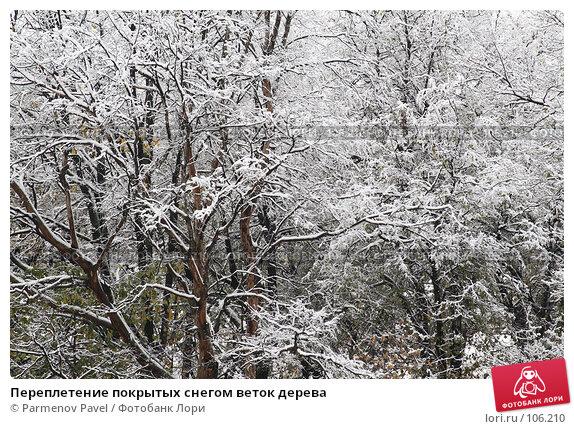 Переплетение покрытых снегом веток дерева, фото № 106210, снято 16 октября 2007 г. (c) Parmenov Pavel / Фотобанк Лори