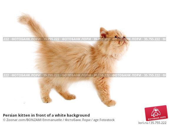 Persian kitten in front of a white background. Стоковое фото, фотограф Zoonar.com/BONZAMI Emmanuelle / age Fotostock / Фотобанк Лори