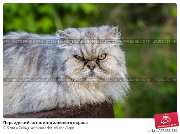 Купить «Персидский кот шиншиллового окраса», фото № 27333150, снято 11 июня 2017 г. (c) Ольга Сейфутдинова / Фотобанк Лори