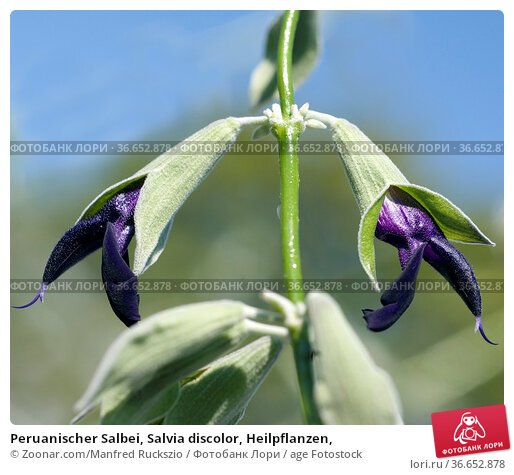 Peruanischer Salbei, Salvia discolor, Heilpflanzen, Стоковое фото, фотограф Zoonar.com/Manfred Ruckszio / age Fotostock / Фотобанк Лори