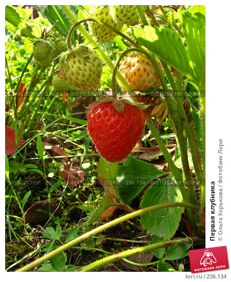 Первая клубника, фото № 236134, снято 28 июня 2006 г. (c) Ольга Хорькова / Фотобанк Лори