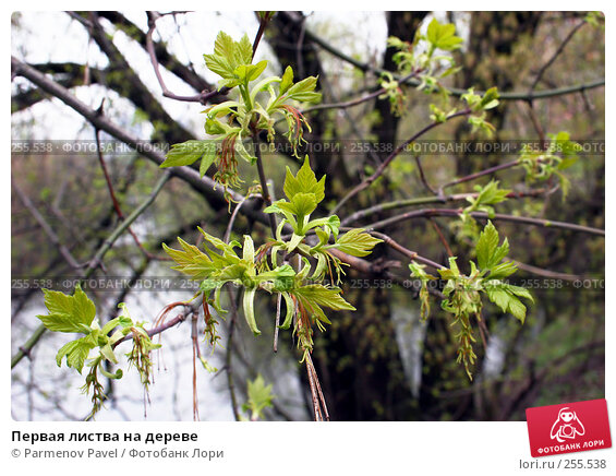Купить «Первая листва на дереве», фото № 255538, снято 17 апреля 2008 г. (c) Parmenov Pavel / Фотобанк Лори