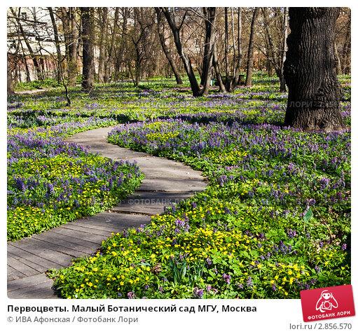 Купить «Первоцветы. Малый Ботанический сад МГУ, Москва», фото № 2856570, снято 29 апреля 2011 г. (c) ИВА Афонская / Фотобанк Лори
