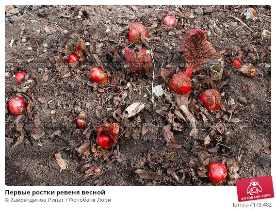 Первые ростки ревеня весной, фото № 173482, снято 26 апреля 2007 г. (c) Хайрятдинов Ринат / Фотобанк Лори