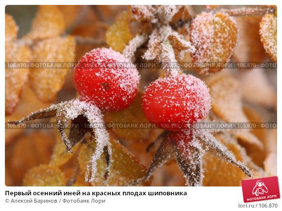 Первый осенний иней на красных плодах шиповника, фото № 106870, снято 31 октября 2007 г. (c) Алексей Баринов / Фотобанк Лори