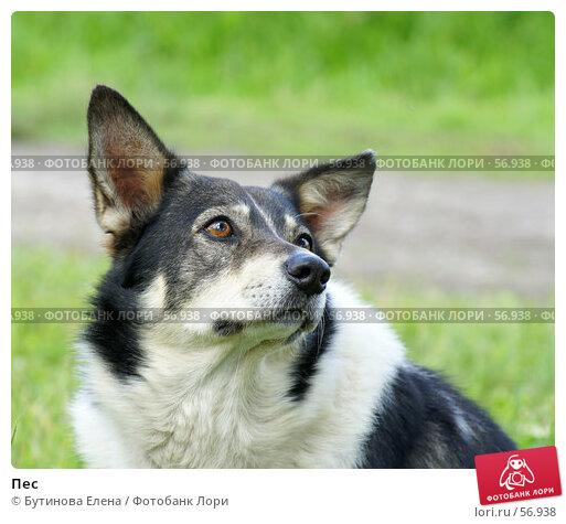 Купить «Пес», фото № 56938, снято 1 июля 2007 г. (c) Бутинова Елена / Фотобанк Лори