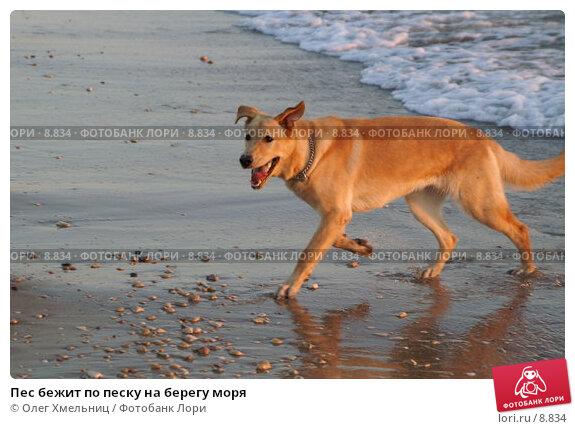 Пес бежит по песку на берегу моря, фото № 8834, снято 11 июля 2006 г. (c) Олег Хмельниц / Фотобанк Лори