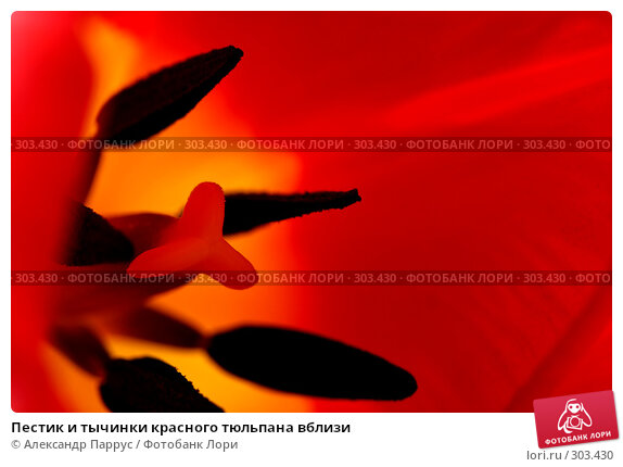 Пестик и тычинки красного тюльпана вблизи, фото № 303430, снято 21 апреля 2008 г. (c) Александр Паррус / Фотобанк Лори