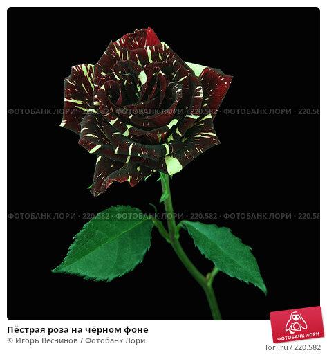 Купить «Пёстрая роза на чёрном фоне», фото № 220582, снято 8 марта 2008 г. (c) Игорь Веснинов / Фотобанк Лори
